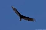 Hot Springs National Park Promenade Turkey Vulture