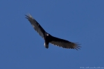Hot Springs National Park Promenade Turkey Vulture