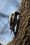 Hot Springs National Park Short Cut Trail Male Sapsucker