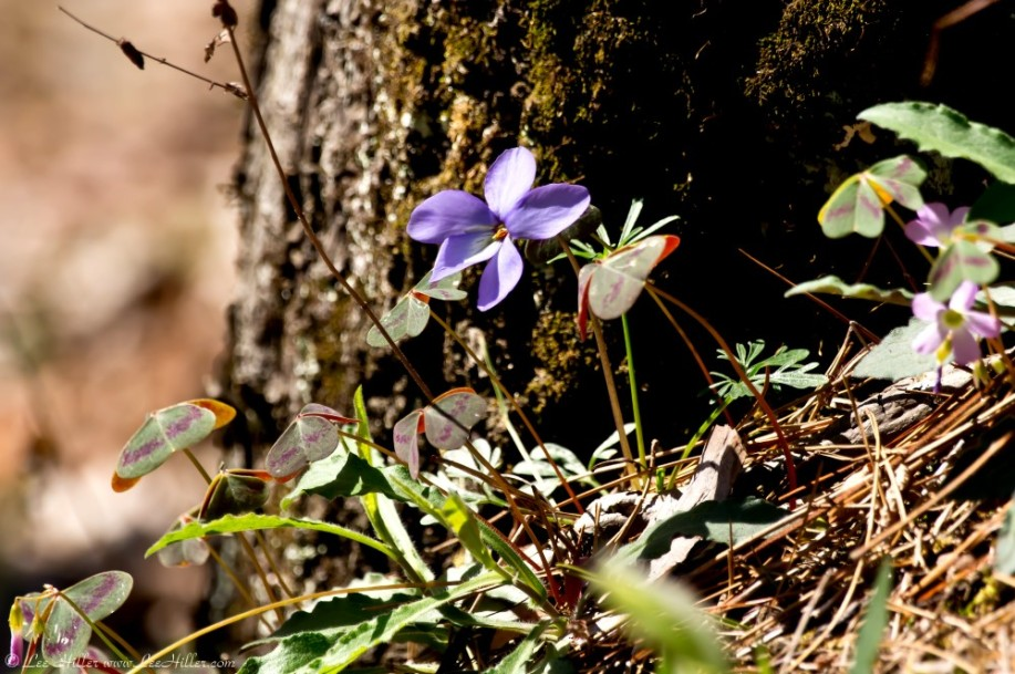 HSNP Upper Dogwood Bird Foot Violet