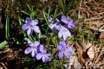 Hot Springs National Park Floral Trail Bird Foot Violets
