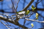 Hot Springs National Park Fountain Street Blue Bird Juvenile