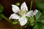 HSNP Lower Dogwood Trail Blackberry Blossom