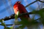 Hot Springs National Park Peak Trail Male Cardinal