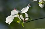 Hot Springs National Park Tufa Terrace Dogwood Blossom