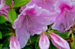 HSNP Arlington Lawn Rain Drops Pink Azalea