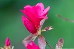 HSNP Arlington Lawn Hot Pink Azalea