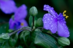 HSNP Arlington Lawn Rain Drops Purple Spiderwort