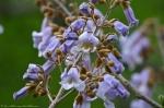HSNP Arlington Lawn Foxglove Tree Blossoms