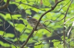 HSNP Dead Chief Trail White Throated Sparrow