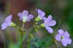 HSNP Honeysuckle Trail Pink Oxalis