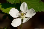 Hot Springs Mountain Trail Blackberry Blossom
