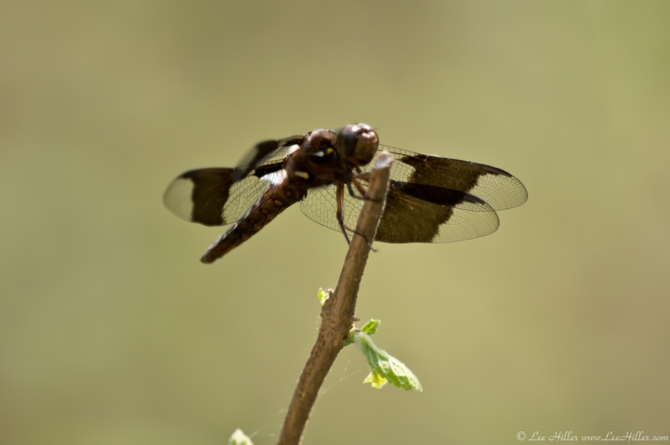 Hot Springs Mountain Trail Brown Dragonfly