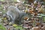 HSNP Peak Trail Squirrel