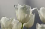 HSNP Promenade White Tulips