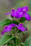 HSNP Tufa Terrace Fuchsia Spiderwort