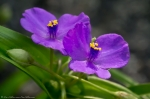 HSNP Tufa Terrace Purple Spiderwort