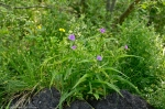 HSNP Tufa Terrace Fuchsia Spiderwort & Yellow Oxalis