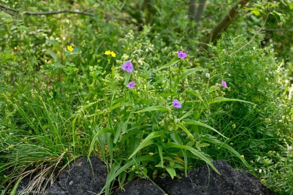 HSNP Tufa Terrace Fuchsia Spiderwort & Yellow Oxalis