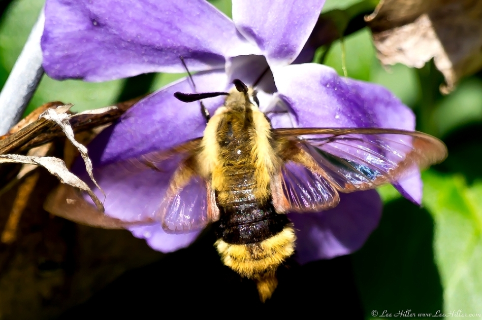 HSNP Fountain Clearwing Hummingbird Moth on Periwinkle