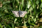HSNP Arlington Lawn Common Checkered-Skipper Butterfly