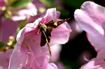 HsNP Arlington Lawn Spotted Skipper on Pink Azalea