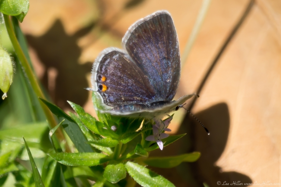 HSNP Fountain Street Lawn Gray Hairstreak Butterfly
