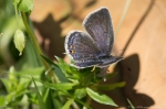 HSNP Fountain Street Lawn Eastern Tailed-Blue Butterfly