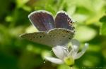 HSNP Fountain Street Lawn Eastern Tailed-Blue Butterfly