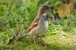 HSNP Fountain Street Lawn Male House Sparrow