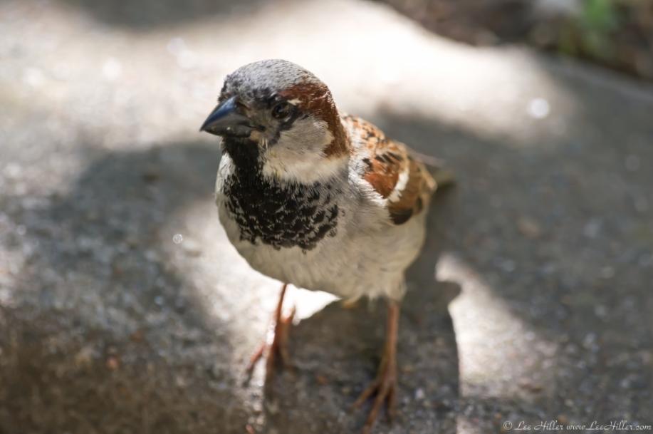 HSNP Fountain Street Lawn Wall Male House Sparrow