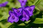 HSNP Fountain Street Lawn Purple Spiderwort