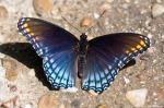 Hot Springs Mountain Rd Red Spotted Purple Butterfly