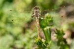Hot Springs Mountain Road Brown Yellow Dragonfly