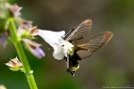 Hot Springs Mountain Road Clearwing Hummingbird Moth