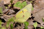 Hot Springs Mountain Road Orange Sulphur Butterfly