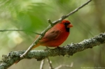 Hot Springs Mountain Road Male Cardinal