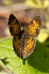 Hot Springs Mountain Road Pearl Crescent Butterfly