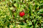 Hot Springs Mountain Road Wild Strawberry