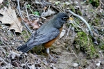 Hot Springs National Park Floral Trail Robin