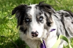 HSNP Fountain Street Lawn Blue-Merle Border Collie
