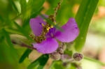HSNP Goat Rock Trail Pink Spiderwort