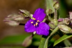 HSNP Goat Rock Trail Purple Spiderwort