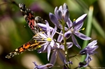 HSNP Goat Rock Trail Wild Hyacinth Orange Yellow Butterfly