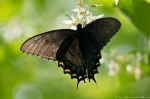 HSNP Dark Female Eastern Tiger Swallowtail Butterfly