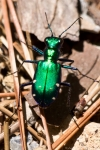 HSNP Lower Dogwood Trail Six Spotted Tiger Beetle