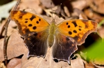 HSNP Upper Dogwood Trail Eastern Comma Butterfly