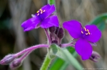 Hot Springs Mountain Trail Fuchsia Spiderwort