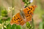 Hot Springs Mountain Rd Eastern Comma Butterfly