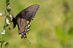 HS Mountain Rd Dark Female Tiger Swallowtail Butterfly